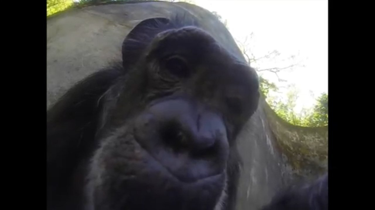 Oregon Zoo chimpanzee Chloe with a GoPro camera (Image: Oregon Zoo)