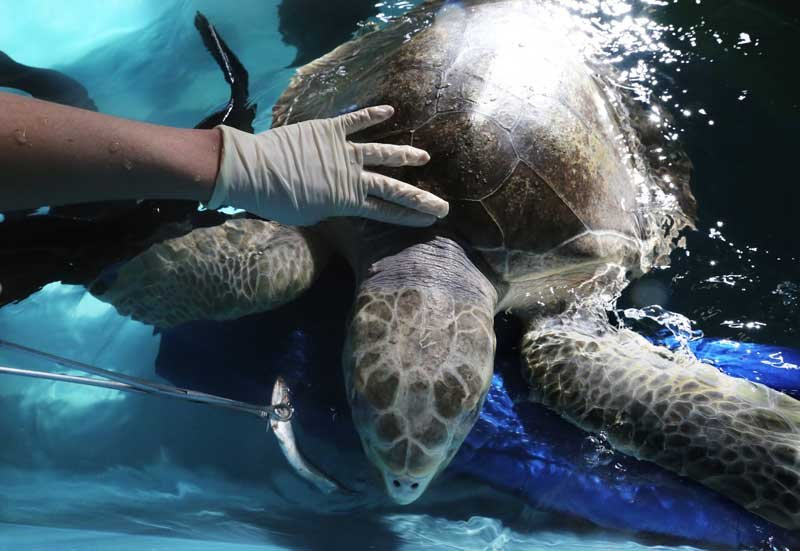 Tucker, an olive ridley sea turtle, is being rehabilitated at the Seattle Aquarium, eating restaurant-grade anchovies, squid and shrimp. He was found in distress at chilly Cannon Beach, Ore. (Alan Berner/The Seattle Times)