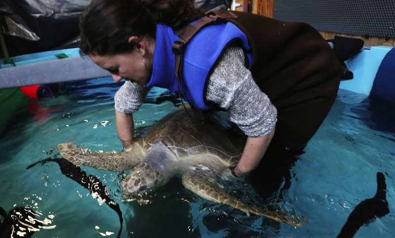 In a quarantine pool, veterinarian Lesanna Lahner checks Tucker the Turtle as he rehabs at the Seattle Aquarium. He's an olive ridley about 2 feet long and is believed to be 15 to 20 years old. (Alan Berner/The Seattle Times)