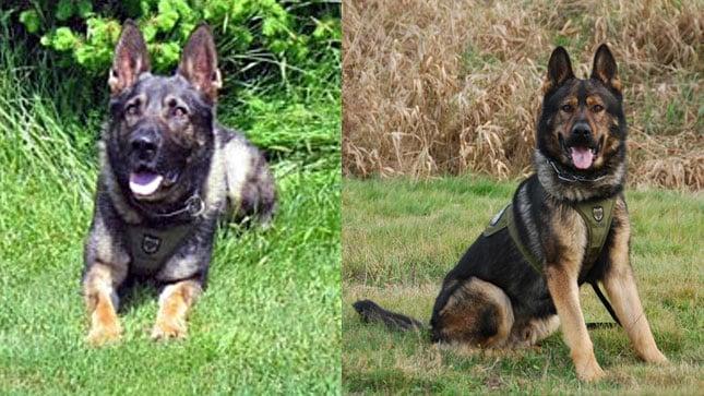K-9 Ringo (left), and K-9 Jango (Photos: Clark County Sheriff's Office)