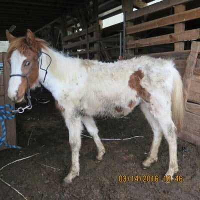 The Oregon Humane Society seized 15 horses in Clatskanie this week. (Photo: Oregon Humane Society)