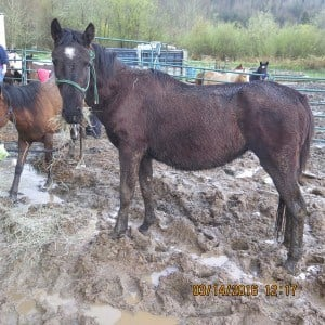 Investigators said the horses were not receiving proper care.  (Photo: Oregon Humane Society)