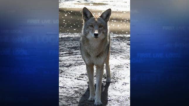 Coyote photo from Portland Audubon Society