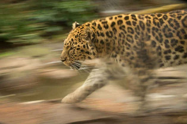 Kia, one of the worlds oldest, rarest Amur leopards. (Photo: Michael Durham/Oregon Zoo)