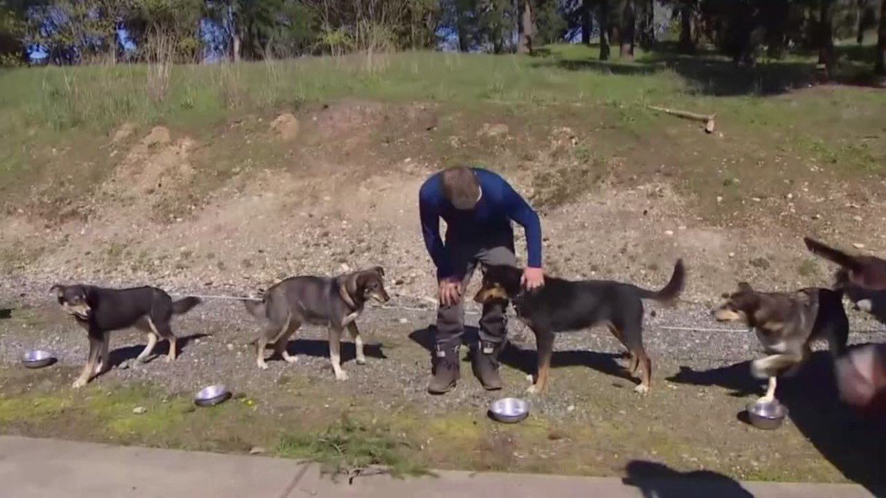 Four sled dogs teams that just finished competing in the Iditarod are spending time in Washington after plans for their flight home to Norway from Alaska fell through. (KOMO-TV)