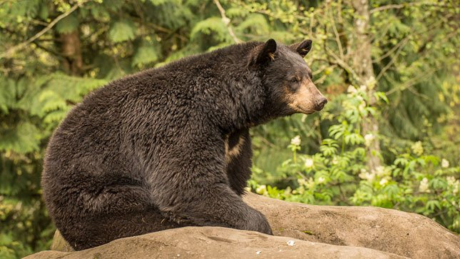 Takoda, an American black bear, kicks back on a rock at the Oregon Zoo. (Photo: Michael Durham / Oregon Zoo)