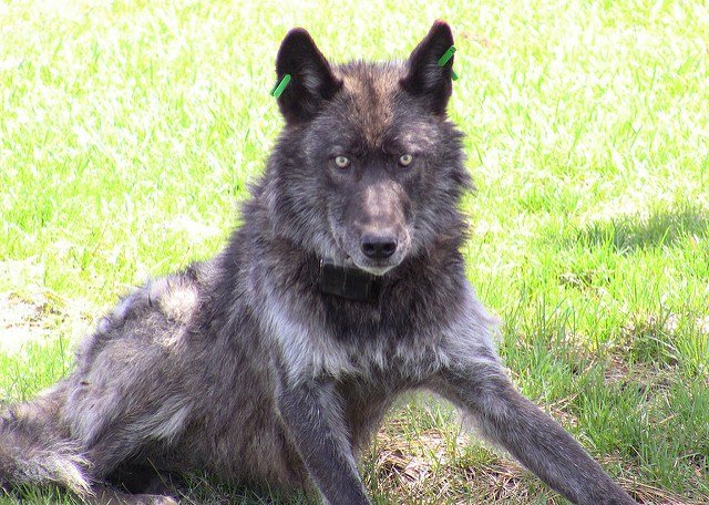 OR4, the alpha male of the Imnaha pack. (Photo: Oregon Department of Fish and Wildlife)