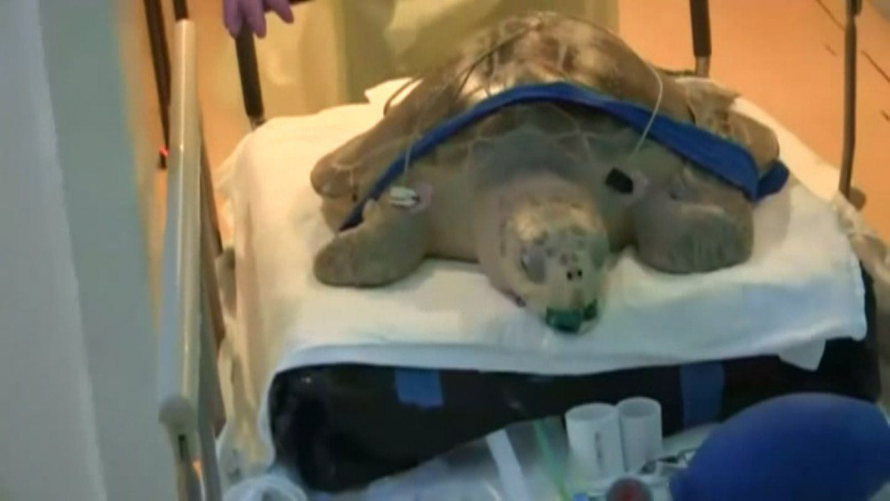 Tucker, an olive ridley sea turtle rescued from Cannon Beach, is receiving hyperbaric treatments in Seattle to fight a type of gas bubble disease. (Fox NewsEdge)
