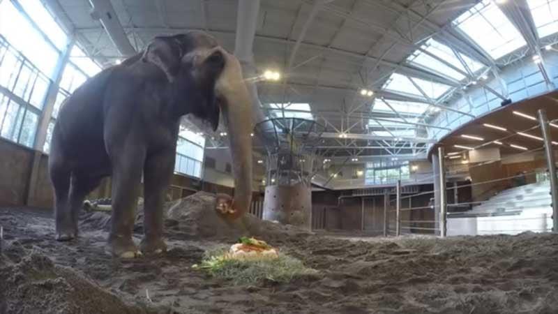 Packy the elephant enjoys his 54th birthday cake (Photo: Oregon Zoo)
