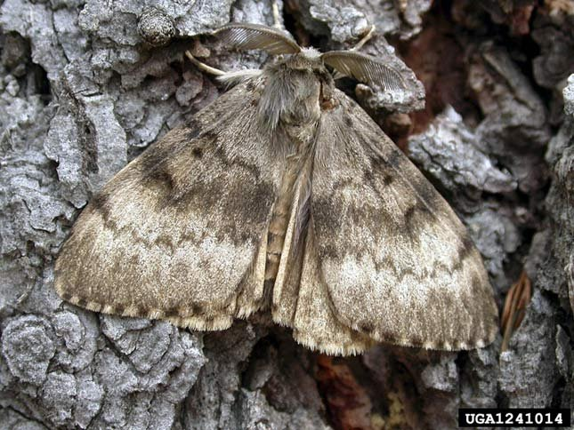 Male European gypsy moth, that looks similar to an Asian gypsy moth. Photo: John H. Ghent, USDA Forest Service, Bugwood.org