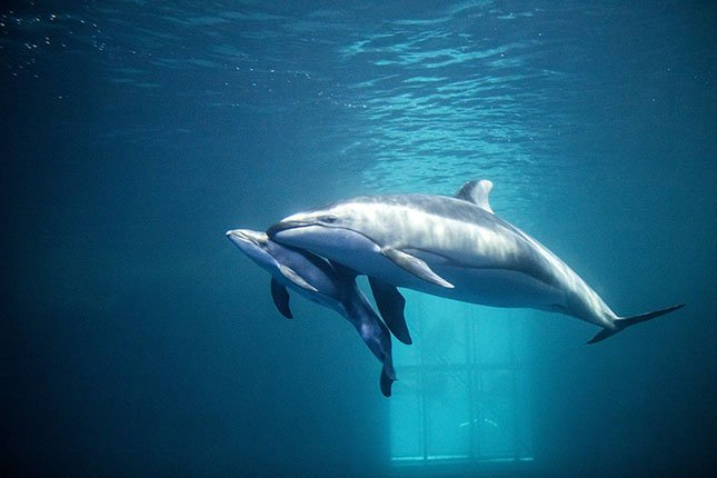 With the kick kick kick of its tiny tail, the Shedd Aquarium's new dolphin calf surfaced for its first breath early this week.