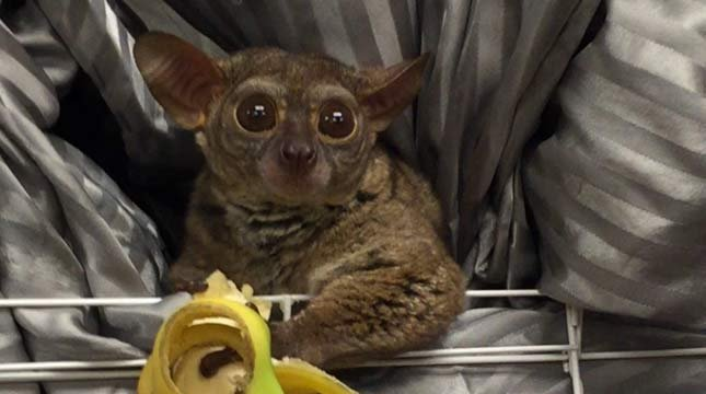 Gooey the galago was reported stolen from Zany Zoo Pet Store in Eugene, but police said the little primate was actually given to a prostitute as a tip from the shop's owner. (Source: Eugene Police Department)