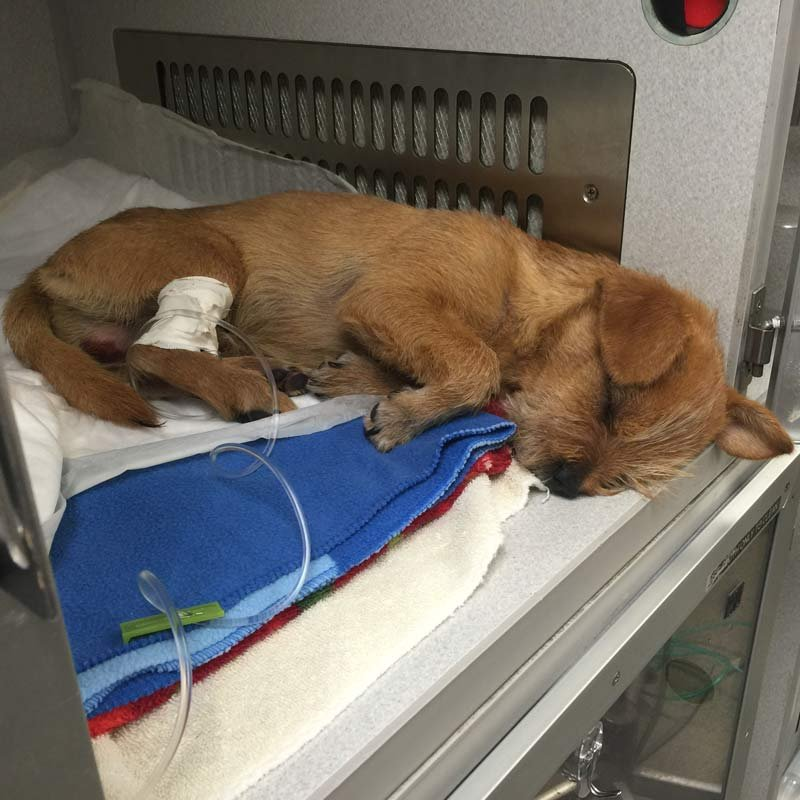 Police said Earl the dog was brutally beaten by a man outside the Valley River Center in Eugene. (Photo: Eugene PD)