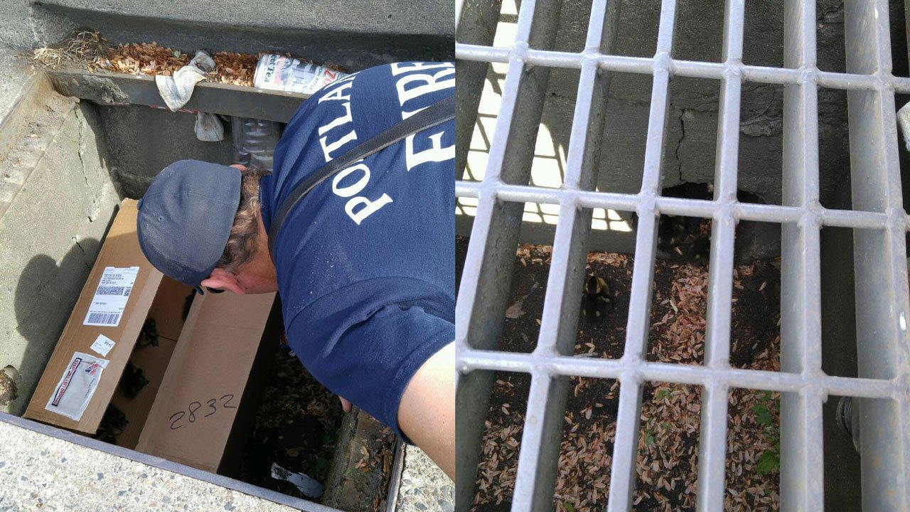 PF&R crews rescued eight ducklings stuck in a storm drain Tuesday, their second such rescue in a week. (PF&R)