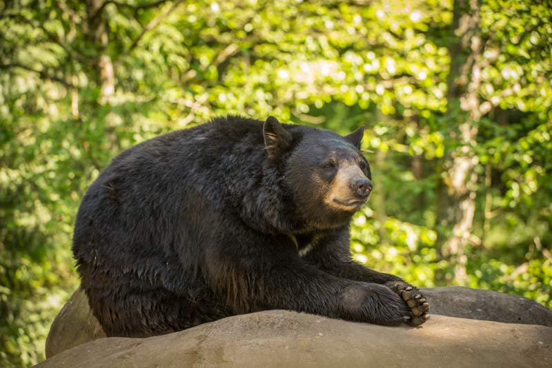 Takoda kicks back atop a rock at the Oregon Zoo's Black Bear Ridge. He and the zoo's other black bears have grown more active with the arrival of spring. Photo by Michael Durham, courtesy of the Oregon Zoo.