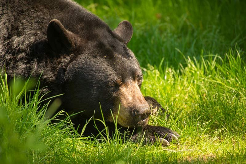 Tuff lazes in the April sunshine at the Oregon Zoo's Black Bear Ridge. Across North America, bears are starting to emerge from their winter torpor. Photo by Michael Durham, courtesy of the Oregon Zoo.