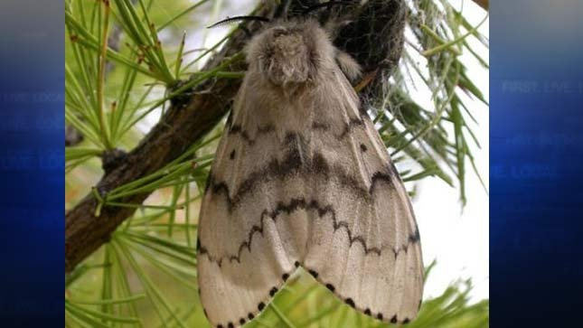 Department of Agriculture finishes gypsy moth spraying ...