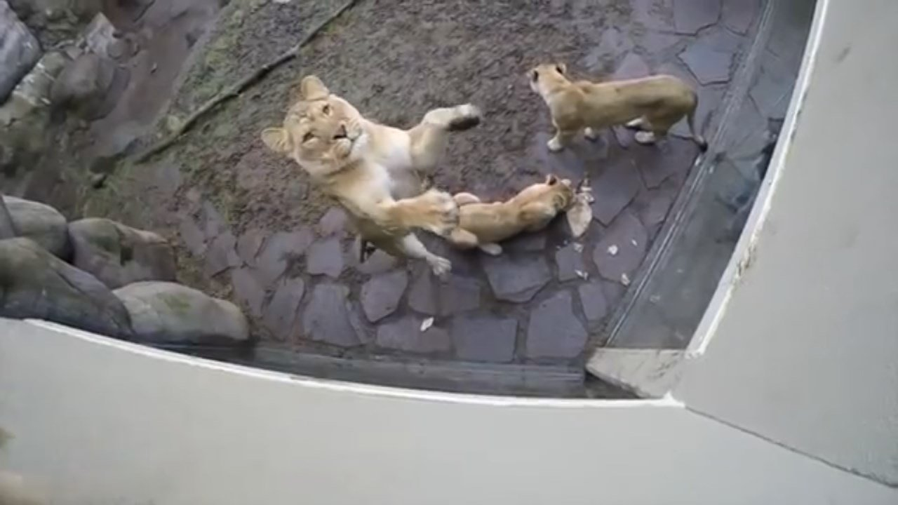 Keepers at the Oregon Zoo have turned rolls of butcher paper into a toy that helps lions exercise and keep their instincts sharp. (Oregon Zoo)