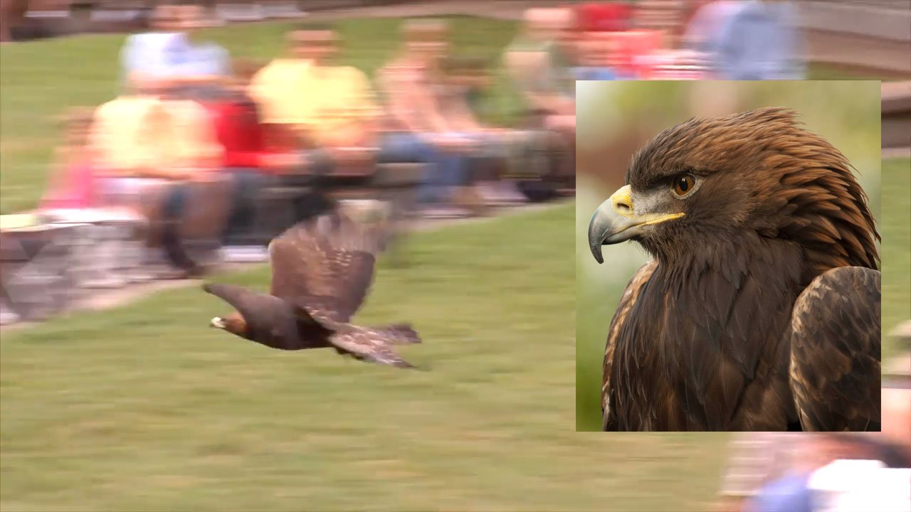 Deschutes, a golden eagle from the Oregon Zoo, flew away from handlers Tuesday during a training flight. (Oregon Zoo)