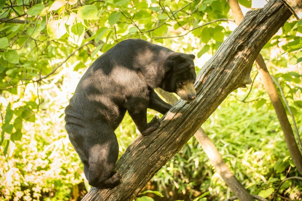 Vivian, a 30-year-old sun bear at the Oregon Zoo, was among the oldest in the world of this threatened species. Photo by Michael Durham, courtesy of the Oregon Zoo.
