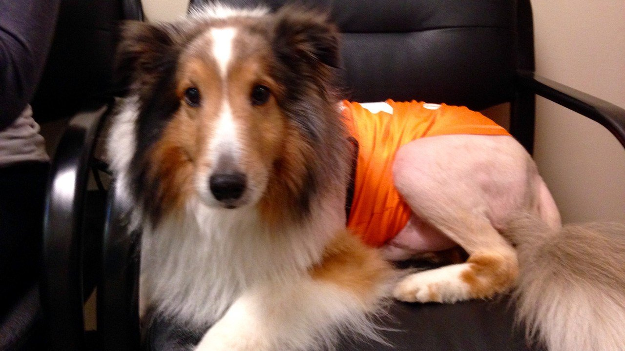 Ollie the Collie is mobile again after a sharp-eyed veterinary intern spotted a tick whose bite was causing paralysis for the dog. (KPTV)