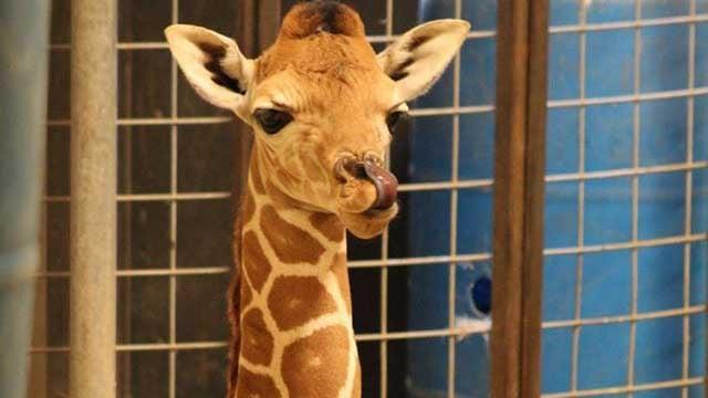 Kelley, a male calf, was born to mom Miya and dad Mate on Sunday, May 15. (Photo: Facebook/Wildlife Safari)