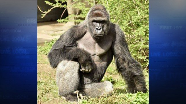 The Cincinnati Zoo shot and killed Harambe, a western lowland gorilla, on Saturday after a 4-year-old boy slipped into the animal's enclosure. (photo courtesy Cincinnati Zoo)