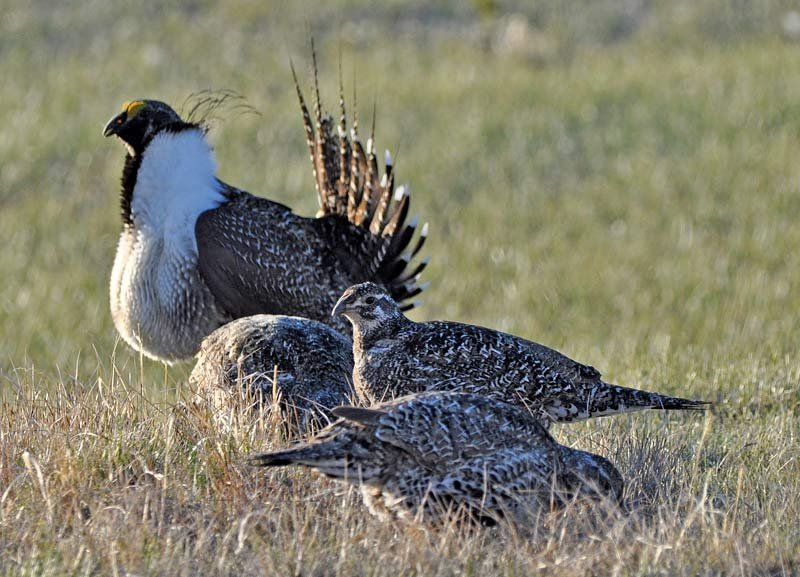 Sage grouse (Photo: Jeannie Stafford/U.S. Fish and Wildlife Service via AP)