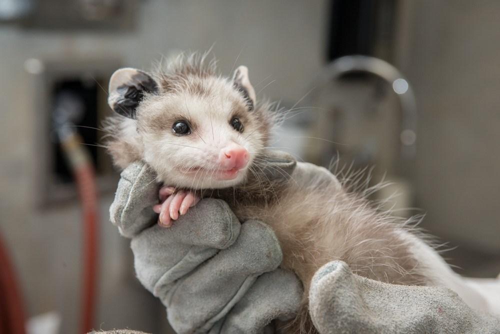 Oscar, a young opossum orphan, gets a checkup at the Oregon Zoo before his transfer to Atlanta. (Shervin Hess / Oregon Zoo)