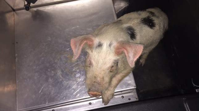 Piglet rescued on I-5 near Eugene. (Photo: OSP)