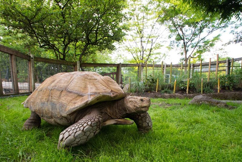 A pair of African spurred tortoises arrived at the Oregon Zoo from New York's Seneca Zoo. (Photo: Oregon Zoo)