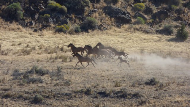 File photo from 2015 of wild horses in Oregon. Courtesy: BLM Oregon.