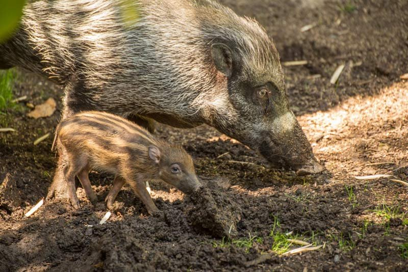 Visayan warty pig and piglet at the Oregon Zoo. (Photo: Oregon Zoo)