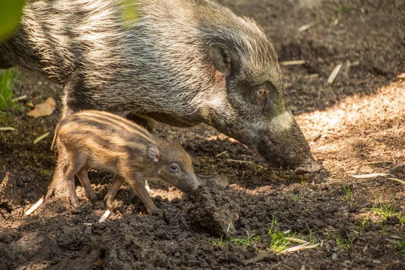 Visayan warty pig and piglet at the Oregon Zoo. (Photo: Oregon Zoo)