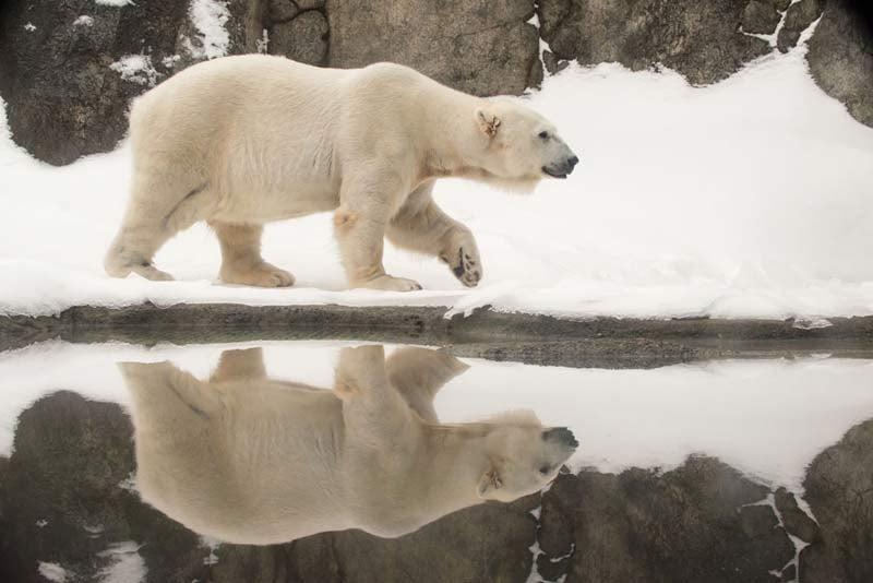 Conrad, a 31-year-old polar bear at the Oregon Zoo, was euthanized Thursday due to a liver tumor. (Photo: Oregon Zoo)