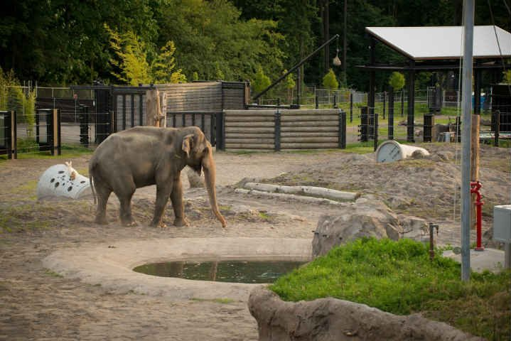 54-year-old Packy explores the South Habitat of Elephant Lands for the first time. Oregon Zoo/photo by Shervin Hess