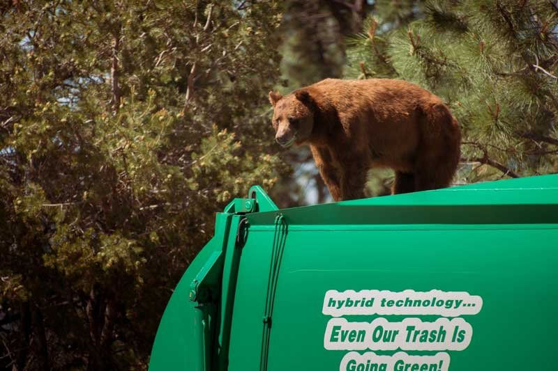 In this photo provided by Evan Welsch, a bear hitches a ride on top of a garbage truck in Los Alamos National Labs in Los Alamos, N. M.  (Evan Welsch via AP)