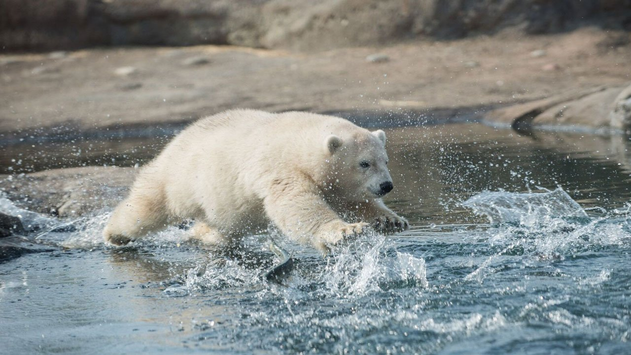 Polar bear cub Nora is heading to the Oregon Zoo this fall after being hand-reared at the Columbus Zoo since November. (Columbus Zoo)