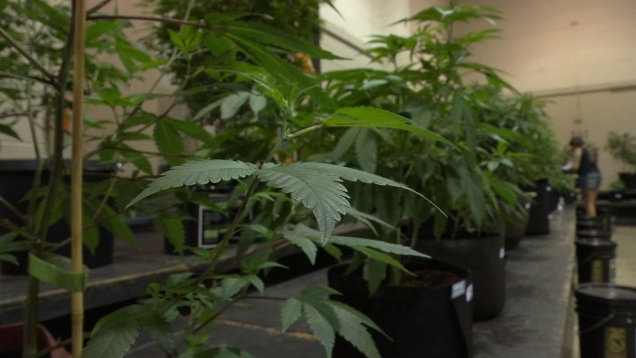 Cannabis plants lined up for judging (KPTV)