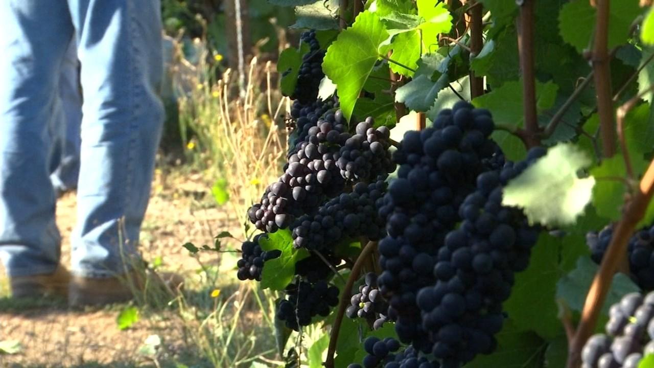 Grapes on the vine (KPTV)
