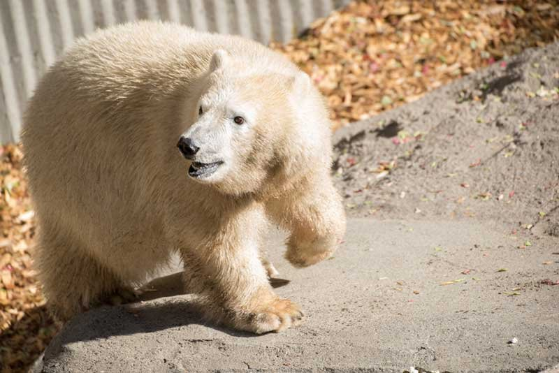 Nora the polar bear is adjusting to her new surroundings in Portland (Photo: Oregon Zoo)