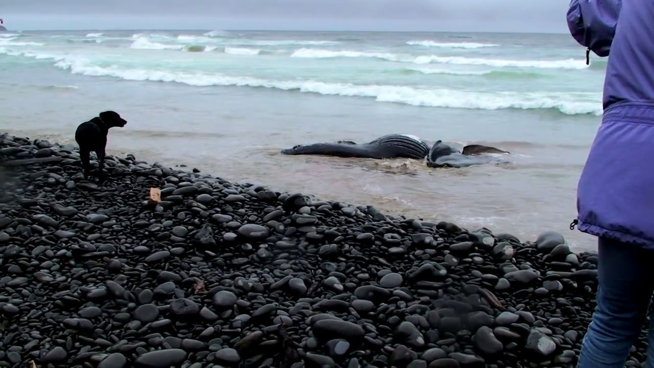 Members of the Oregon Marine Mammal Stranding Network said a humpback whale found washed ashore near Oswald West State Park had likely been dead for quite some time. (Dave Pastor/KPTV)