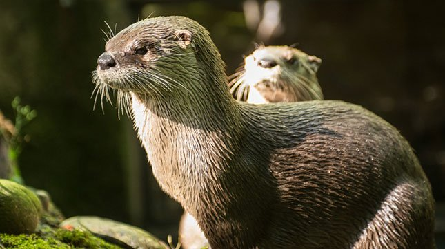 River otters Tilly and B.C. enjoy a sunny day at the Oregon Zoo's Cascade Stream and Pond habitat. (Photo courtesy: Kathy Street / Oregon Zoo)