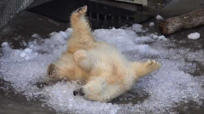 Nora the polar bear rolls around in snow and ice at the Oregon Zoo (Screengrab from YouTube/Oregon Zoo)