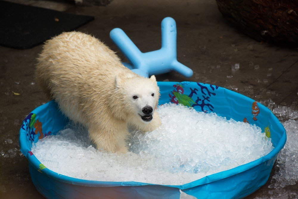 Young polar bear Nora plays behind the scenes at the Oregon Zoo. Photo by Michael Durham, courtesy of the Oregon Zoo.
