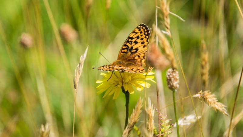 A newly emerged Oregon silverspot butterfly alights in a meadow along the Oregon Coast earlier this summer. Photo by Kathy Street, courtesy of the Oregon Zoo.