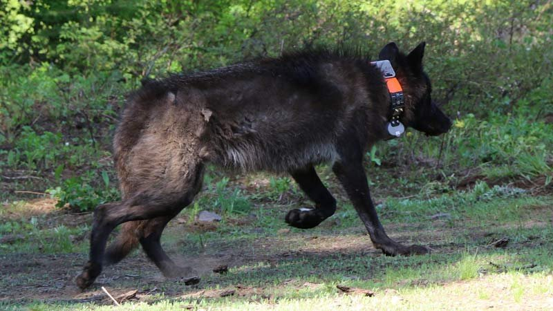 Oregon wolf OR-28 was found dead near Summer Lake on Oct. 6. Rewards are being offered to catch the poacher. (Photo: Oregon Department of Fish and Wildlife)