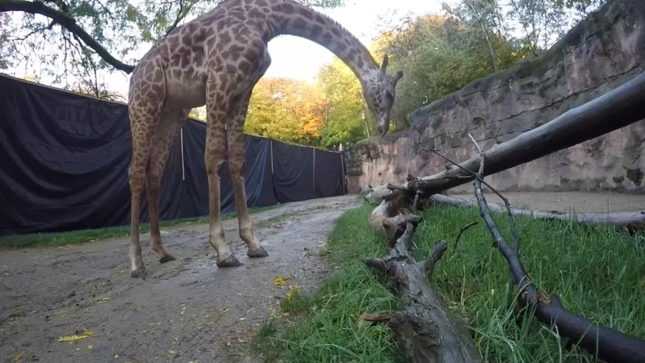New Oregon Zoo Masai giraffe, Buttercup. (Image: Oregon Zoo)