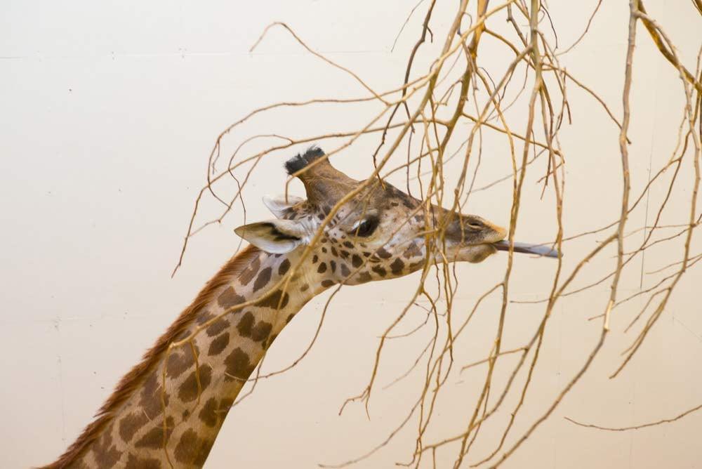 New Oregon Zoo Masai giraffe, Buttercup. (Photo by Michael Durham, courtesy of the Oregon Zoo)