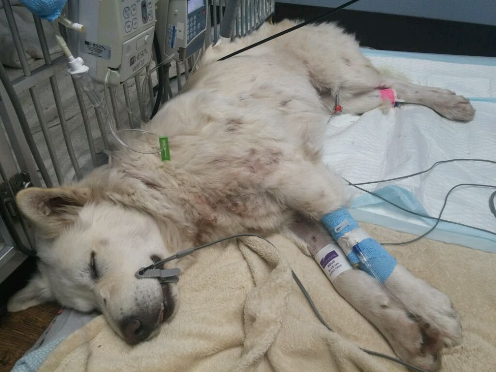 Khaleesi recovering after being shot (Photo courtesy of Mike Roth)